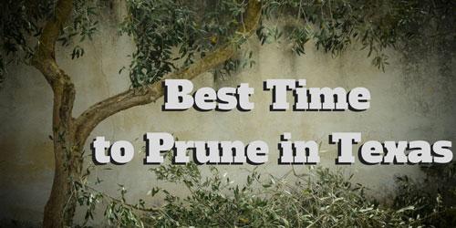 When To Prune Oak Trees In Texas